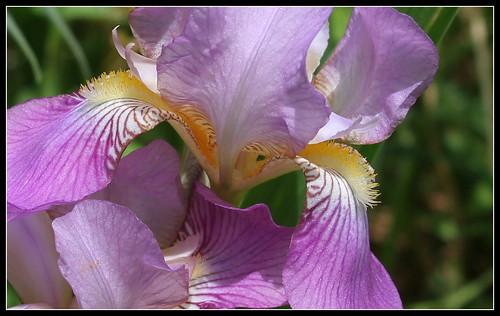 Iris 'Queen of May' - John Salter (avant 1859)  34900796631_169feeb9ff