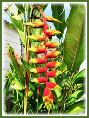 Heliconia rostrata (Lobster Claw, False Bird of Paradise, Hanging Heliconia) with gorgeous downward-facing flowers and banana-like foliage, 31 Dec 2009