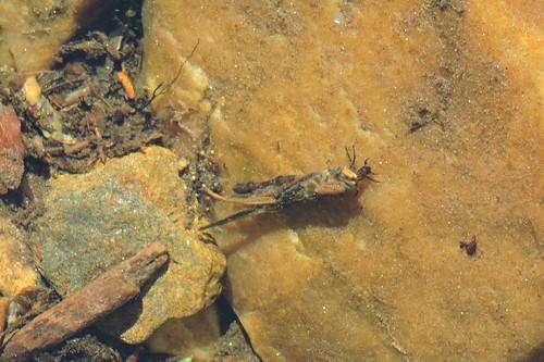 Caddisfly larvae