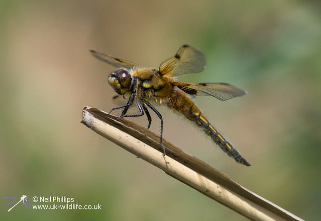 4 spotted chaser-7