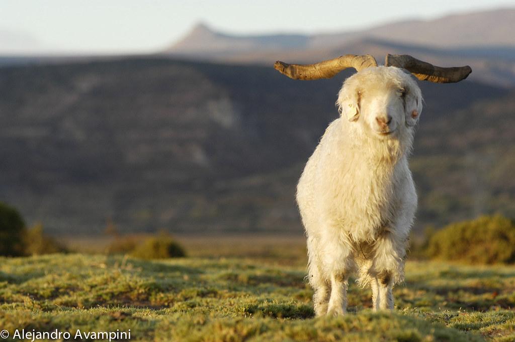 Cabra Patagonica