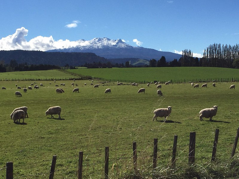 rural setting with sheep in foreground with Tongariro NP