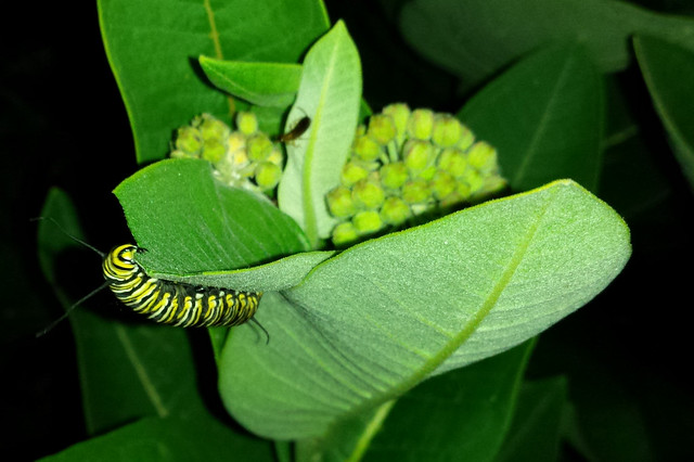 caterpillar reaching up to the top of a leaf, antennae stretched wide