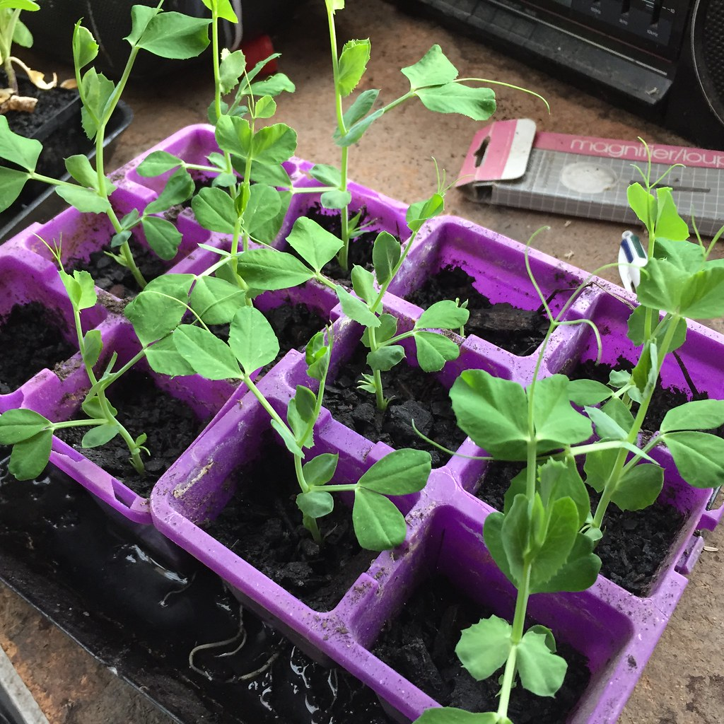 sugar snap pea seedlings, in desperate need of a plant out!