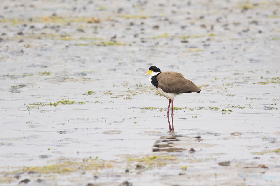 Lokutkiivitaja, kiivitaja, Vanellus, novaehollandiae, miles, Hoplopterus, Lobivanellus, Lobibyx, Spur, winged, Plover, Black, shouldered, Lapwing, Masked, Spur-winged, Otago, peninsula, New Zealand, Kaido Rummel