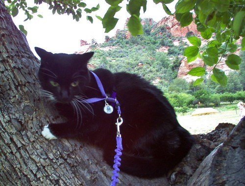 Image shows the crotch of a fruit tree. A black tuxedo cat wearing a pale purple harness is crouched in it, looking rather irritated. In the background, the bright red rocks are visible between the leaves.