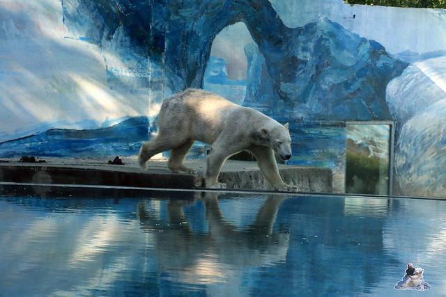 Eisbär Fiete im Sosto Zoo 27.05.2017 013