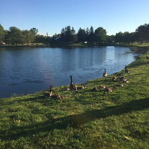 The geese at Andrew Hayden Park