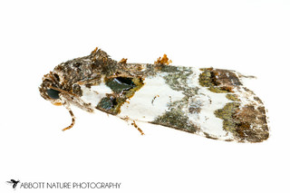 Tufted Bird Dropping Moth - Hodges#9062 (Cerma cerintha) 20170617_3568.jpg | by Abbott Nature Photography
