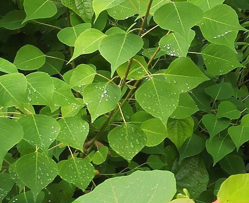 雨露に塗れる葉