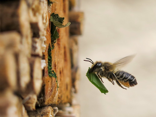Orange-vented leafcutter bee building its nest with rose leaf segments in our home-made Bee Hotel | by Grantham Ecology
