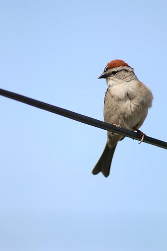 Bird on a Wire II (SOTC 241/365)