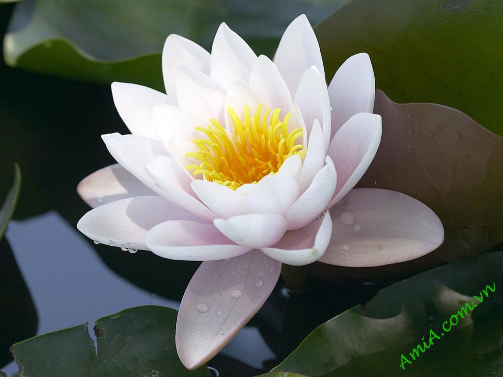 Hinh bong hoa sen trang tuyet dep AmiA