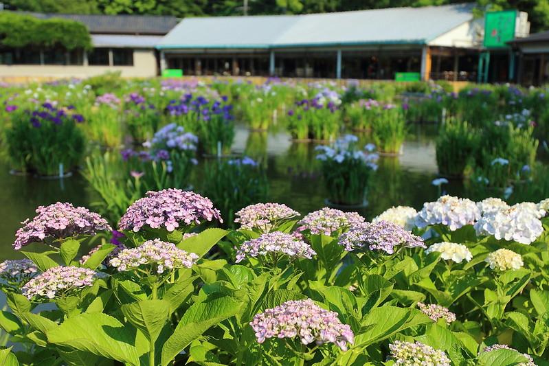 紫陽花|hydrangea