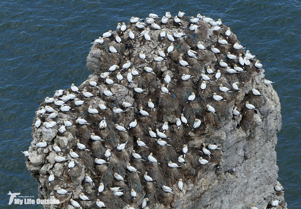 P1080294 - Gannet, Bempton Cliffs