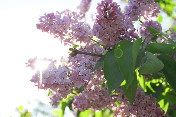 lilacs highland park rochester