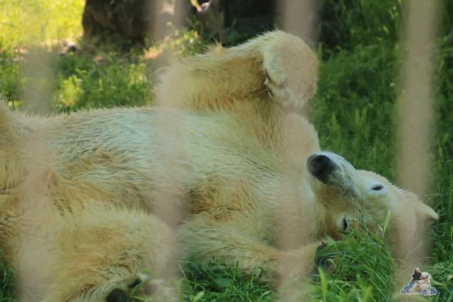 Eisbär Fiete im Sosto Zoo 28.05.2017 107