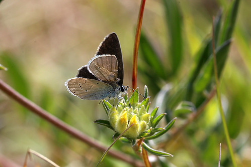 Small Blue Cupido minimus