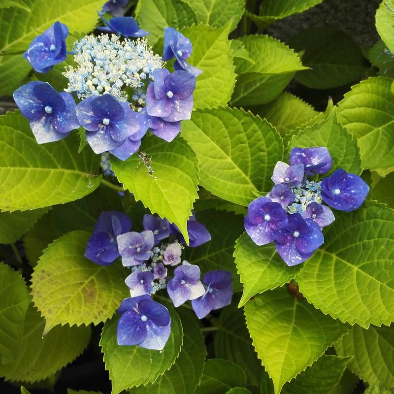 斑点のある紫陽花