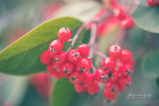 Front Door Tree Berries | by boxyinfinity