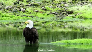 Eagle on the Courtenay River | by mcrosbie1