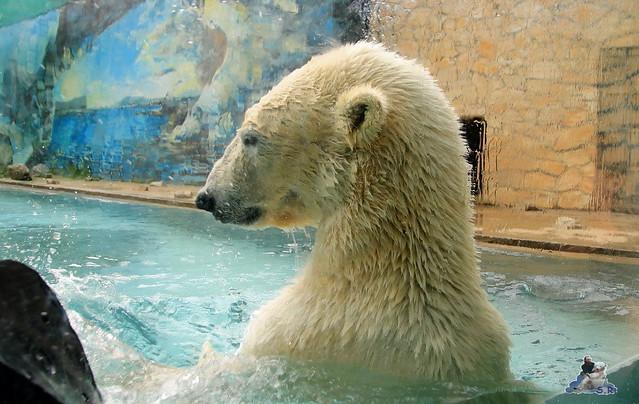 Eisbär Fiete im Zoo Sosto 30.05.2017 077