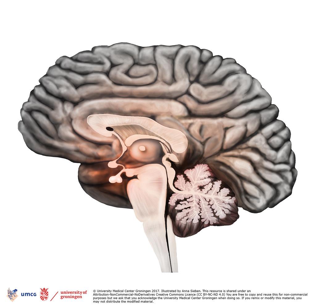 brain sagittal view | University Medical Center Groningen - … | Flickr
