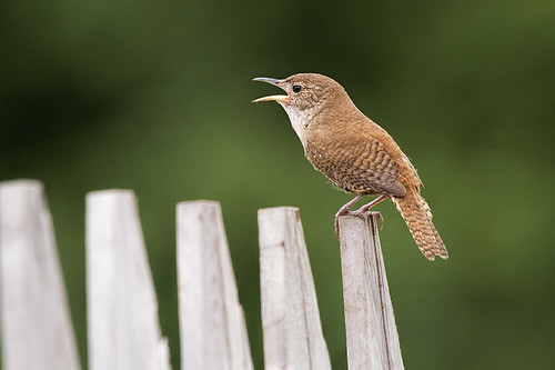 Negri-Nepote: House Wren on the Fence, Loud