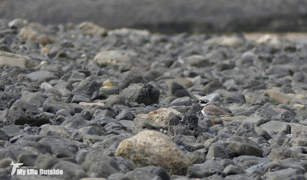P1080607 - Ringed Plover, Burry Port