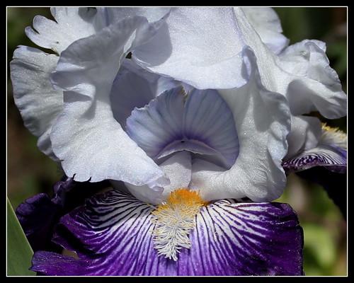 Iris 'Saint-Malo' - R-L. Vasquez-Poupin 2007 34985316741_1ca8052063