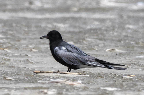 nick.black tern.1b
