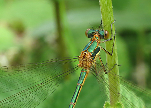 Emerald Damselfly Lestes sponsa Tophill Low NR, East Yorkshire June 2017