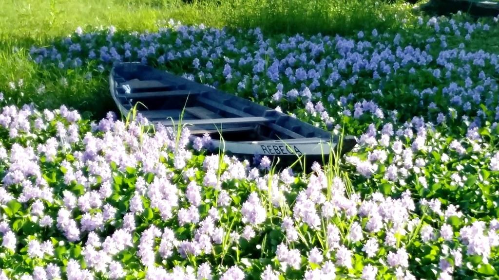 Mar de flores no Bosque da Vera Paz