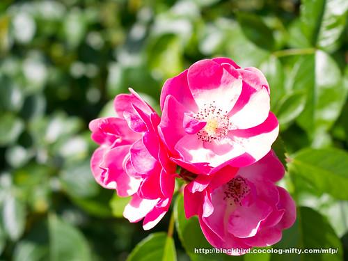 Rose 20170613 #02