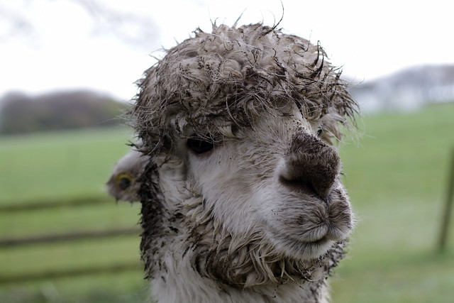 Muddy but cute - llama life