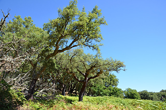 Cork trees, the smugglers' route, Marvao, Alentejo, Portugal