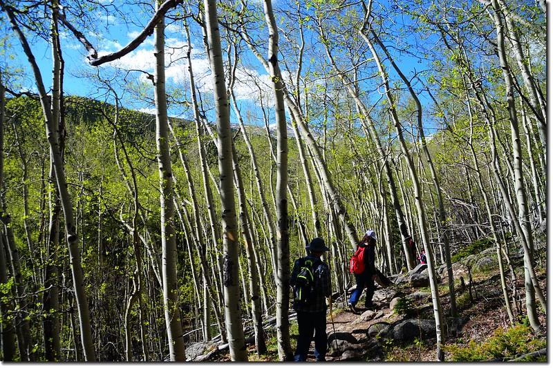 Into the Aspen Grove 3
