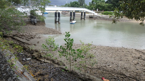 Mangrove saplings at Changi Creek