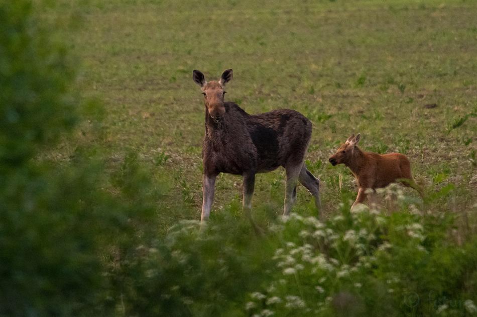 Euroopa, põder, Alces, Eurasian, Elk, Estonia, Moose, Kaido Rummel