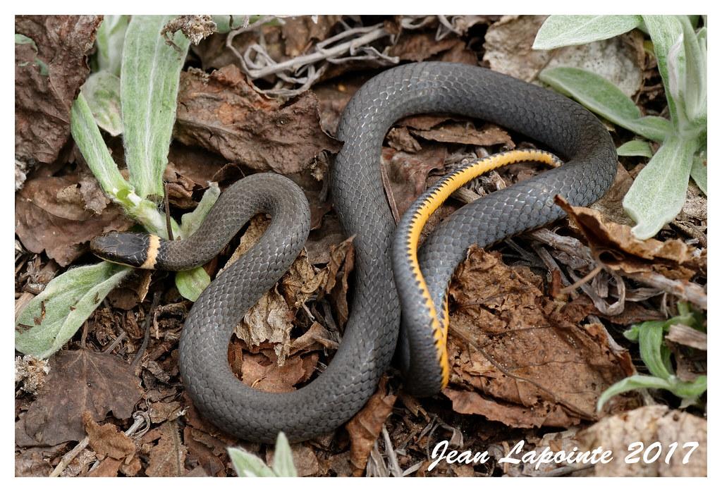 Northern Ring Snake