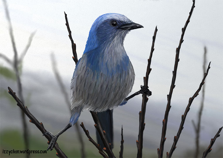florida scrub jay blue bird endangerd artrage