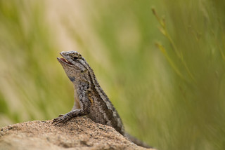 Great Basin Fence Lizard, Sceloporus occidentalis longipes Baird, 1859 | by Misenus1
