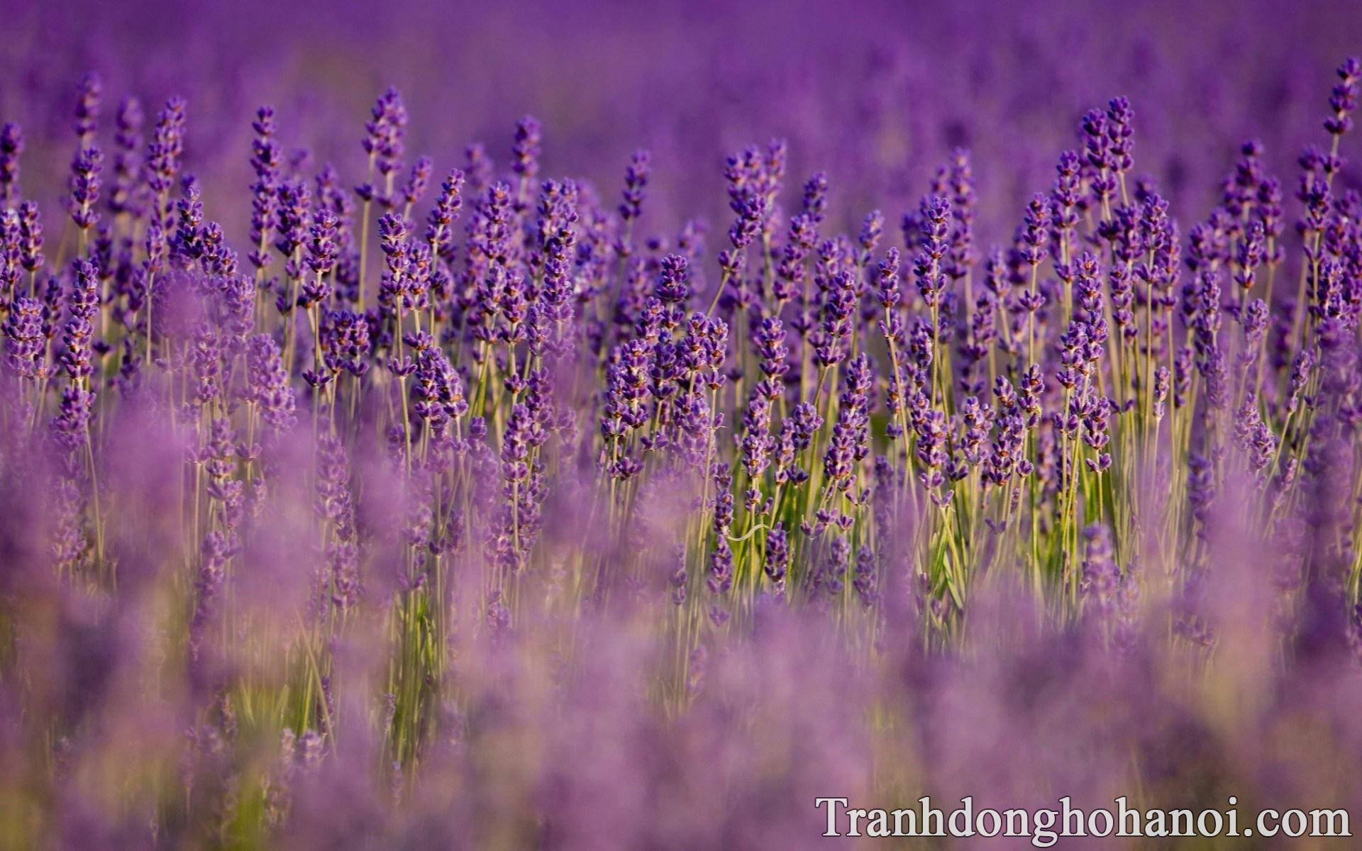 Anh hoa oai huong lavender dep tai mien phi