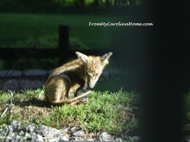 June 2017 Fox visit at From My Carolina Home