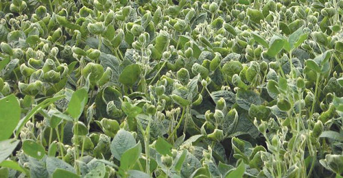 barber-dicamba-beans-3 | by uacescomm
