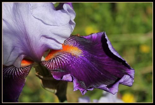 Iris 'Magic Man' - Barry Blyth 1979 34791530760_2f6143881f