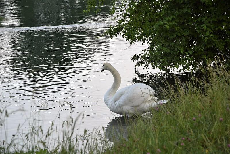 Swan 05.06 (3)