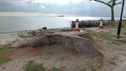 Tree affected by erosion at Changi Point has been cut