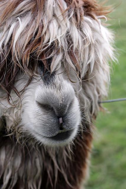 Alpaca damp nose - sheffield