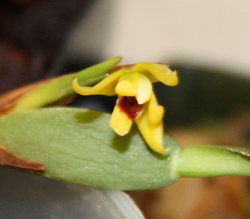 maxillaria_variabilis_bloom